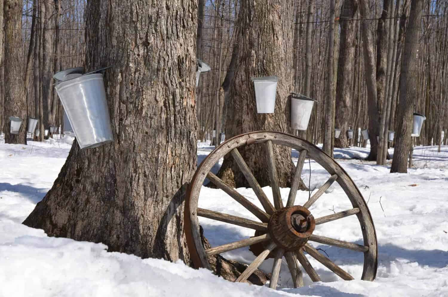 Tapping maple trees to use in place of sugar
