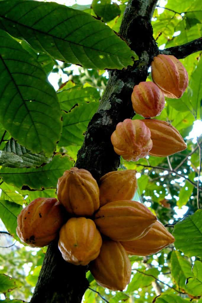 Cacao Tree (chocolate) with pods