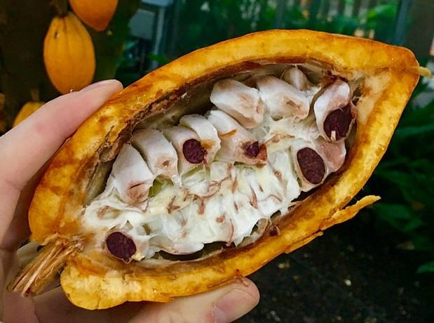 Cacao pod (chocolate)