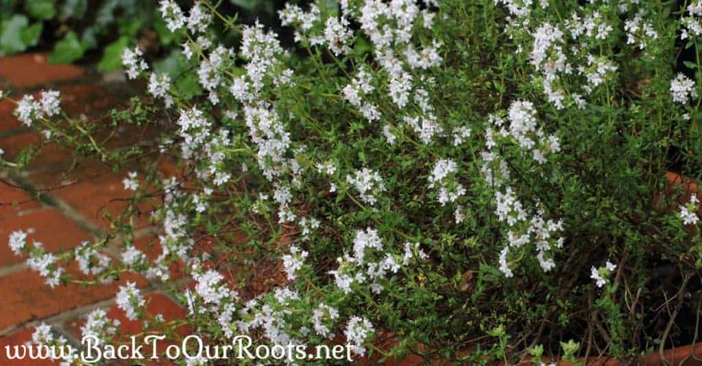 How to Grow and use Thyme