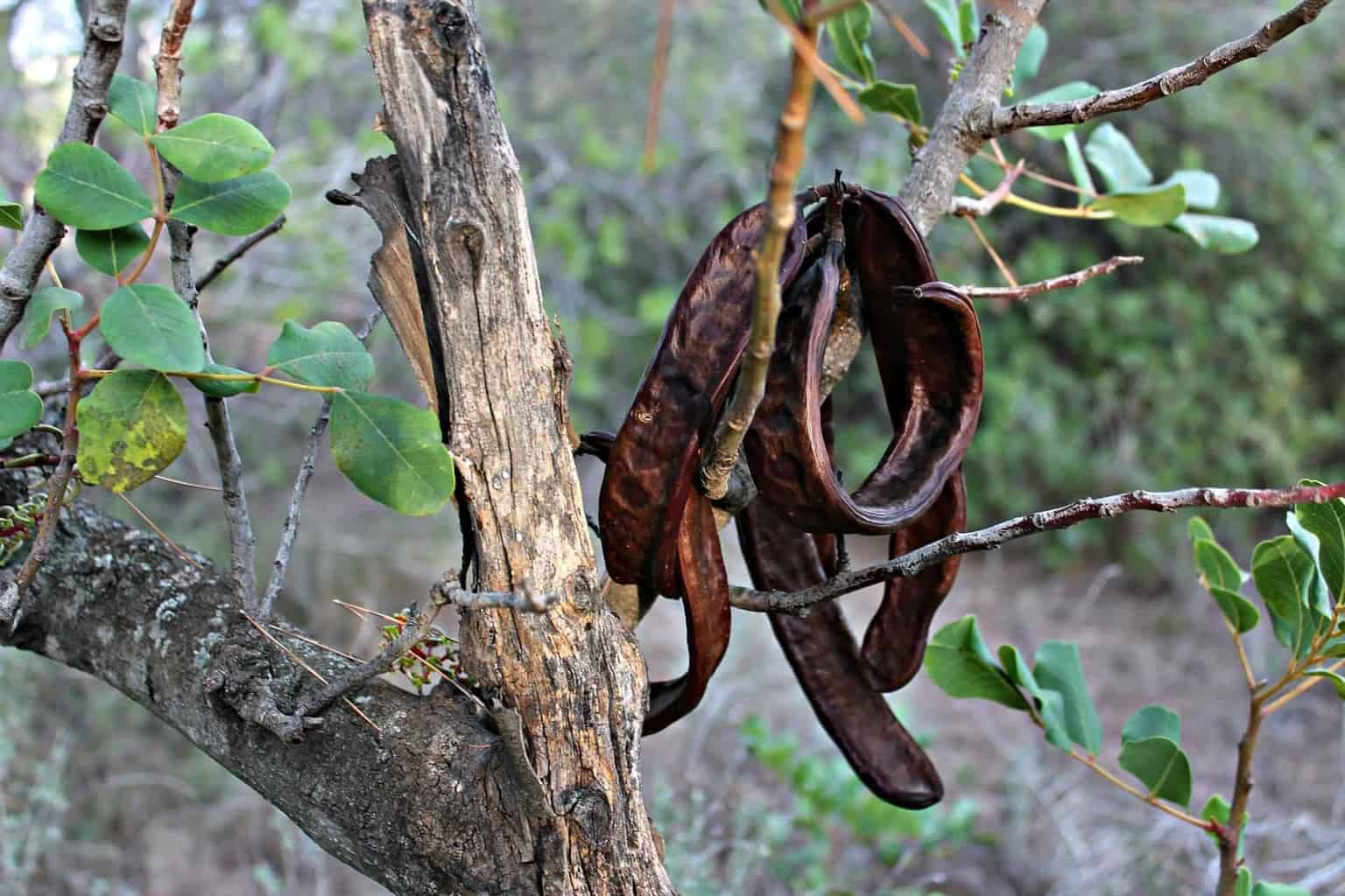 Carob tree with pods