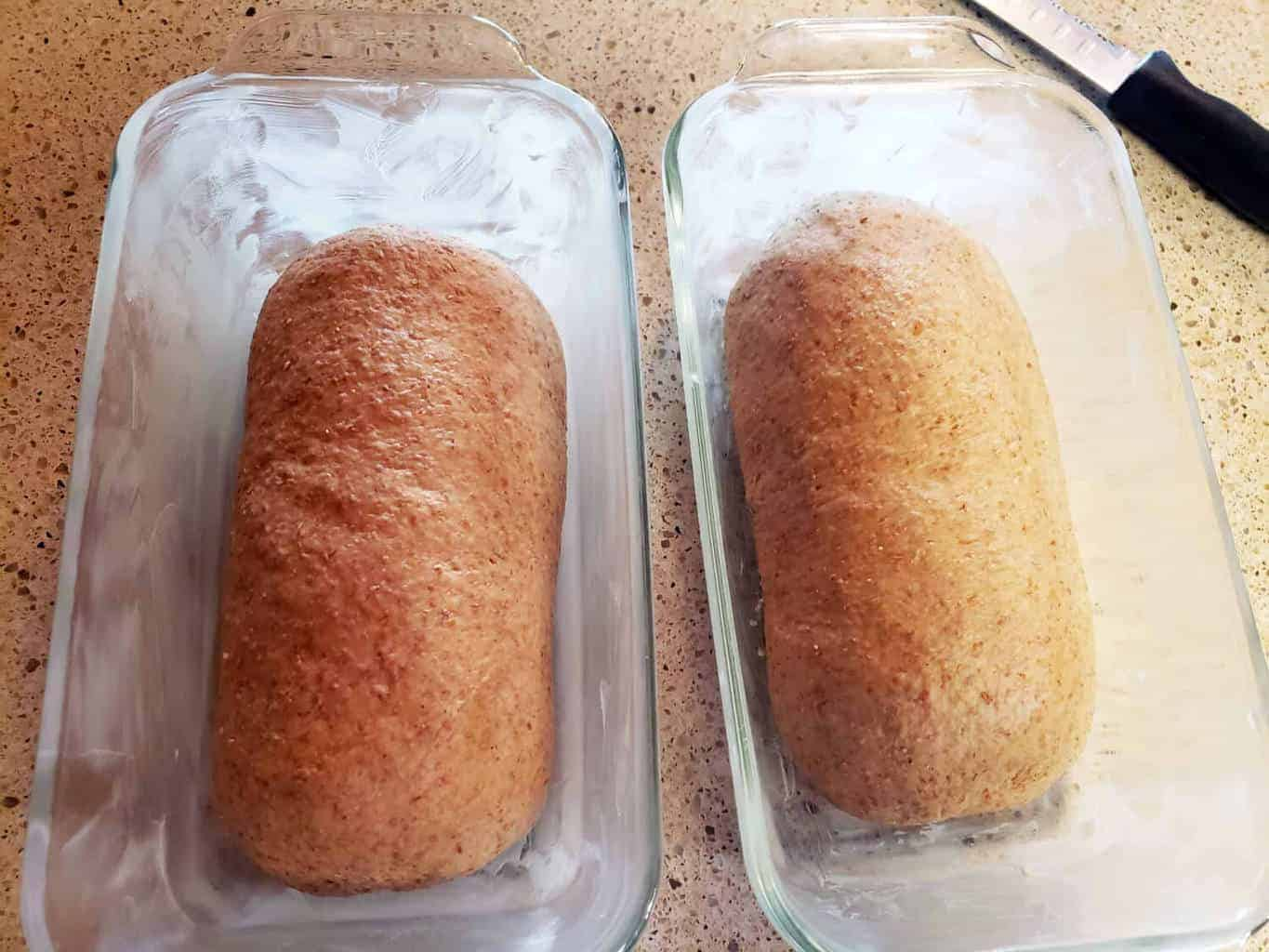 Molasses Whole Wheat Bread dough loaves formed in buttered bread pans