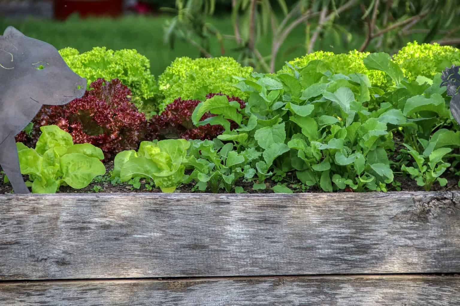 wooden raised bed with lettuce